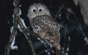 Barred Owl screenshot 10