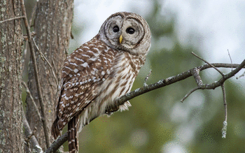 Barred Owl screenshot 11
