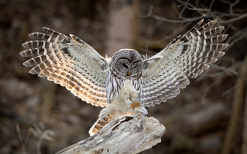 Barred Owl screenshot 12