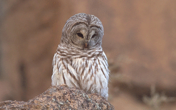 Barred Owl screenshot 16