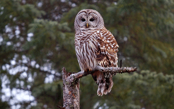 Barred Owl screenshot 4