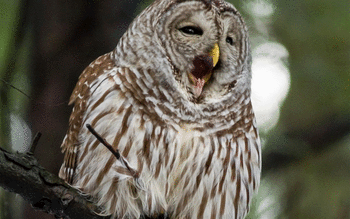 Barred Owl screenshot 6