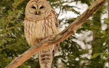 Barred Owl screenshot 8