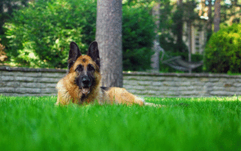 German Shepherd screenshot 29