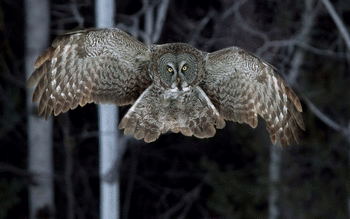 Great Grey Owl screenshot 10