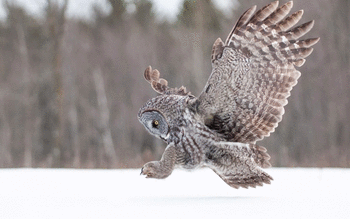 Great Grey Owl screenshot 11