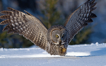Great Grey Owl screenshot 12
