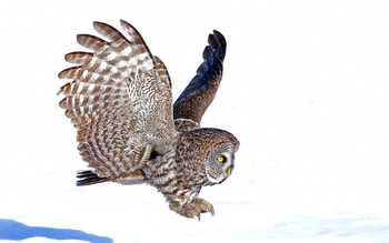 Great Grey Owl screenshot 13