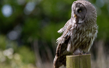Great Grey Owl screenshot 14