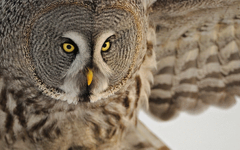Great Grey Owl screenshot 15