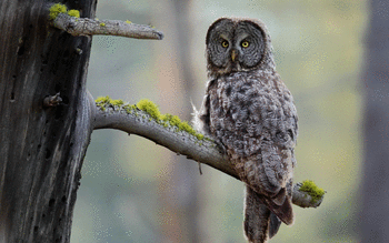 Great Grey Owl screenshot 16