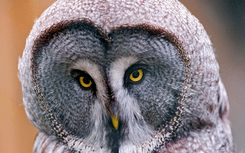 Great Grey Owl screenshot 2