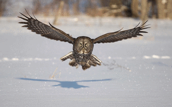 Great Grey Owl screenshot 4
