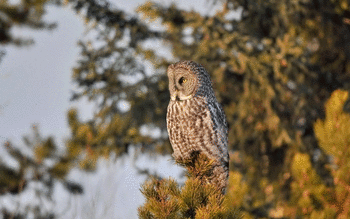 Great Grey Owl screenshot 5