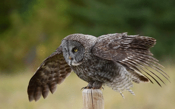 Great Grey Owl screenshot 6