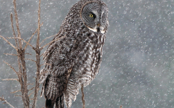 Great Grey Owl screenshot 7