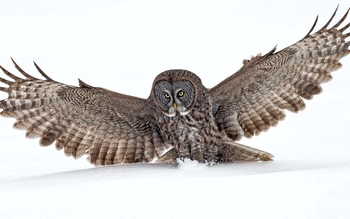 Great Grey Owl screenshot 8