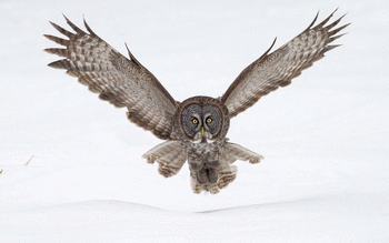 Great Grey Owl screenshot 9