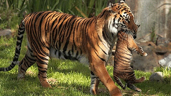 Tiger screenshot 14