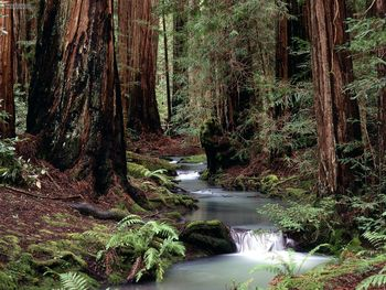 Montgomery Woods State Reserve California wallpaper preview